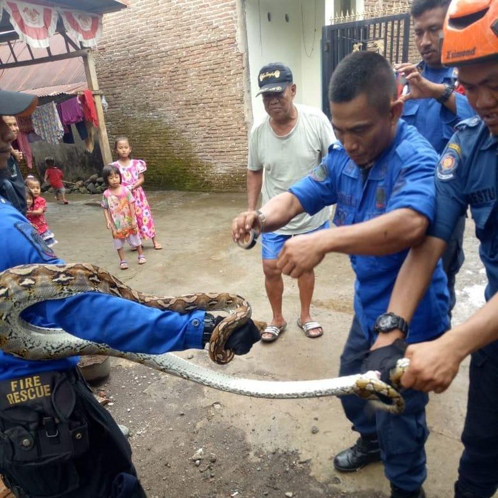 Hendak Cari Mangsa, Sanca 4 Meter Ditangkap di Makassar