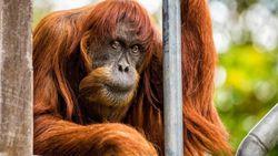 Puan, Orangutan Sumatra Tertua di Dunia Mati di Australia
