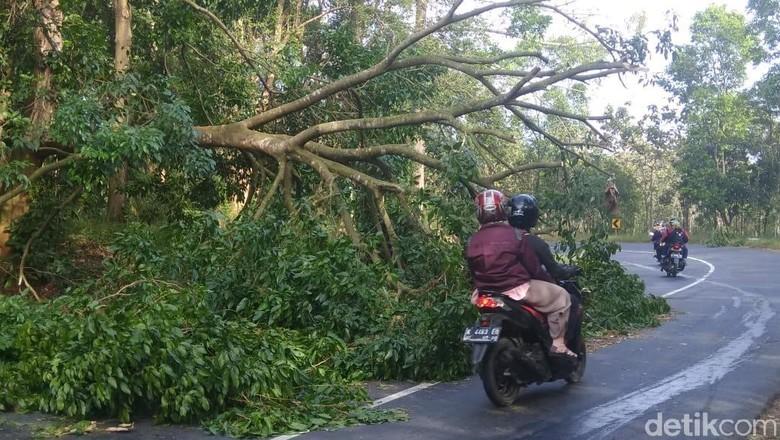 Pohon Jengkol Tumbang di Jalur Utama Jepara-Pati