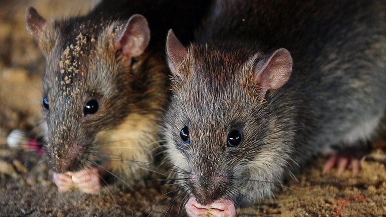 Penampakan Rp 249 Juta yang Dikunyah Tikus dalam ATM di India
