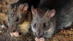 Batam Waspadai Cacar Monyet, Tikus dan Tupai Juga Bisa Menularkan