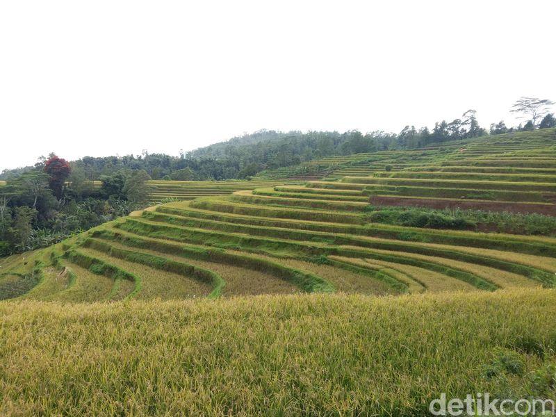 Pemandangan sawah bertingkat ini dapat ditemui di Kabupaten Sinjai, tepatnya Dusun Kasuarang, Desa Arabika, Kecamatan Sinjai Barat (Ibnu Munsir/detikTravel)