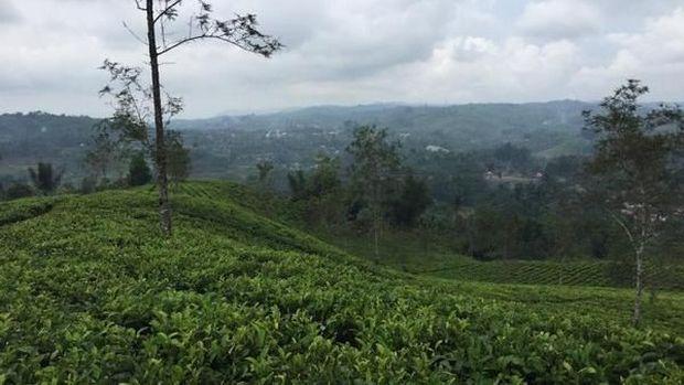 Perkebunan teh di Desa Taraju (KKN TARAJU/d'Traveler)