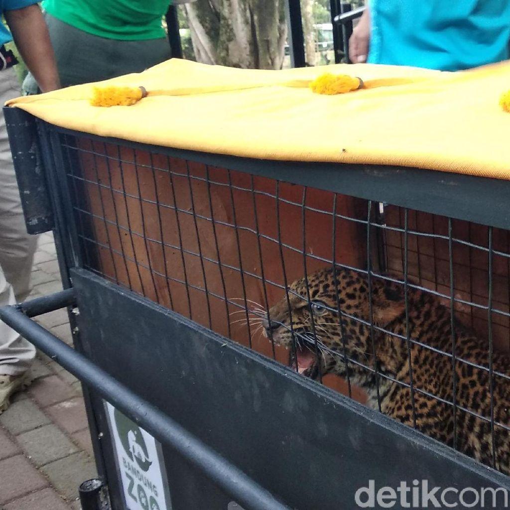 Sempat Dirawat, Macan Tutul Dilepasliarkan ke Gunung Tilu