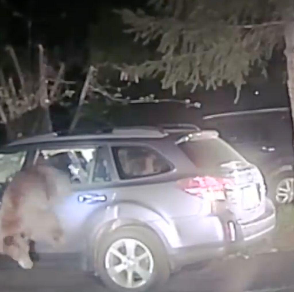 Foto: Detik-detik Penyelamatan Beruang Terperangkap dalam Mobil