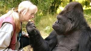 Koko, Gorila Terkenal dan Pintar Bahasa Isyarat Mati di Usia 46 Tahun