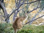 Tanaman Rumput Penyebab Sindrom Kanguru Mabuk di Victoria
