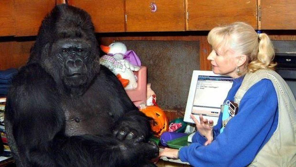 Mengenang Koko, Gorila Terkenal yang Pintar Bahasa Isyarat