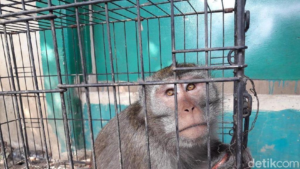 Monyet Liar di Jatiasih Bekasi Bikin Resah, Ada yang Serang Warga