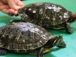 Dianggap Hama, Kura-kura Brazil Ditemukan di Adelaide