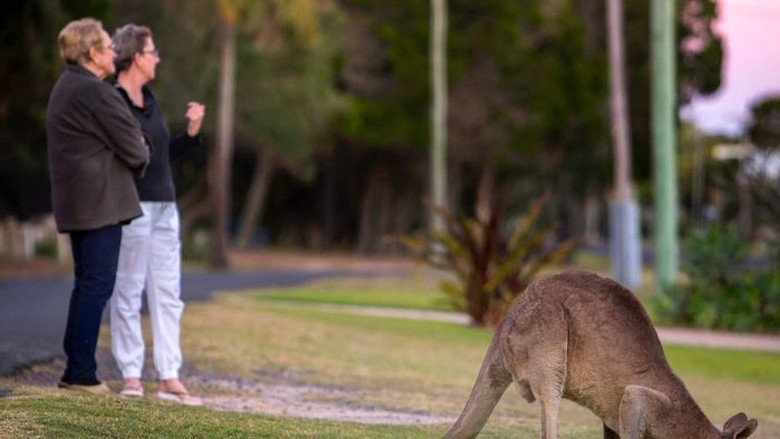 Di Kota Ini Kanguru dan Warga Hidup Berdampingan