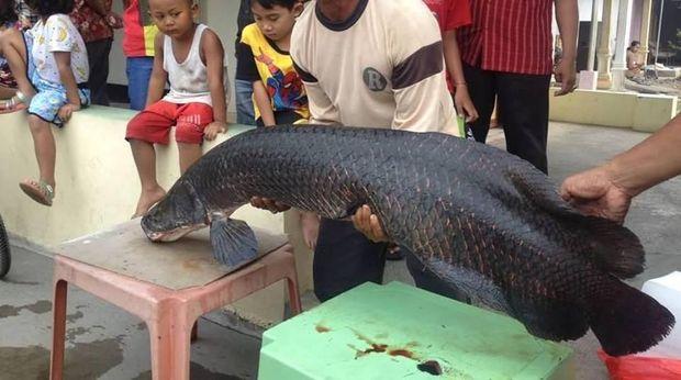 Ikan Arapaima yang ditangkap di Sungai Brantas.