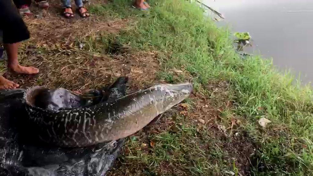 KLHK Gandeng KKP Tangani Kasus Ikan Arapaima di Brantas