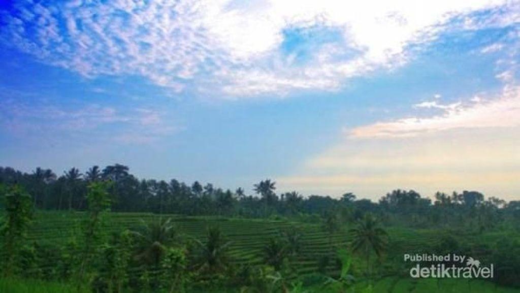 Bukan di Bali, Ini Hamparan Sawah Cantik di Tulungagung