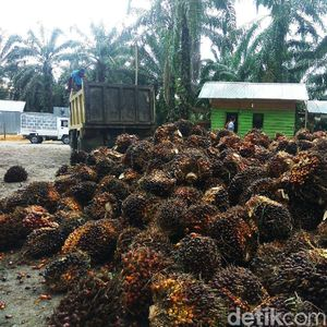 Petani Aceh Curhat Harga Kelapa Sawit Turun
