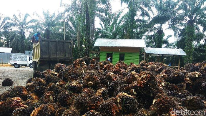 Kelapa sawit di Aceh. Foto: Agus Setyadi/detikcom