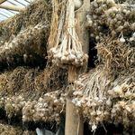 Industri Makanan Wajib Tanam Bawang Putih, Ini Alasannya
