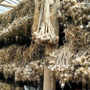 Magelang Disiapkan untuk Swasembada Bawang Putih