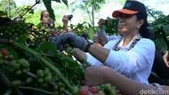 Cara Pemerintah Tingkatkan Kesejahteraan Petani Kopi