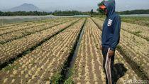 Diserang Ulat Grayak, Petani Bawang Merah Probolinggo Gagal Panen