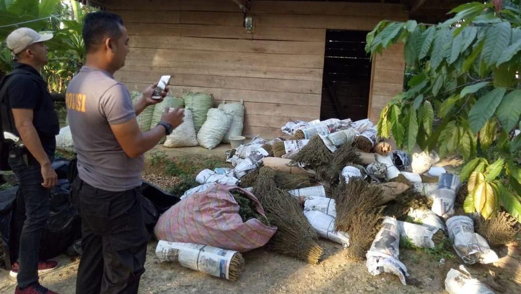 Polisi Tangkap 2 Pria dengan Setengah Ton Ganja di Aceh Utara