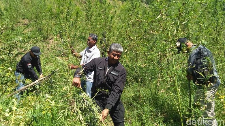 BNN Musnahkan 10,5 Hektare Ladang Ganja di Aceh