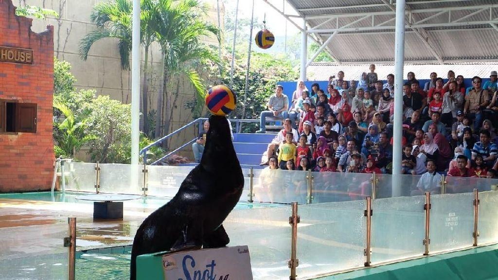 Meriahkan Piala Dunia, Ada Singa Laut Juggling Bola di Ancol