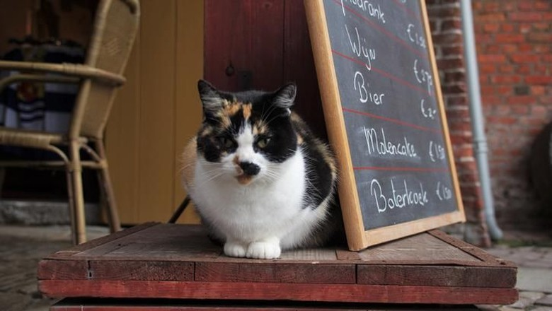 Farm Cat in clos up  sitting on a coffee plaza