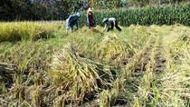 Kemarau, Petani Padi di Ponorogo Keluhkan Hasil Panen Turun