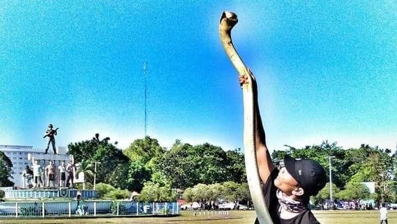 King Cobra yang Patuk Rizky di CFD Palangka Raya Panjangnya 3 Meter
