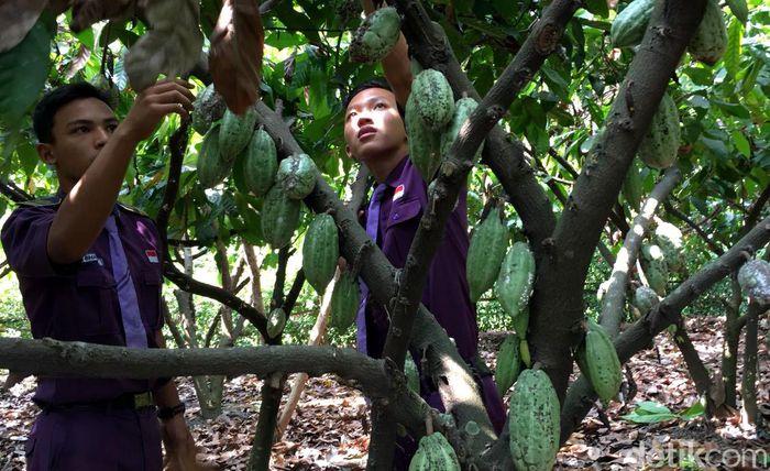 Tak hanya mencicipi enaknya Cokelat Mojopahit, pengunjung juga bisa mencoba menanam dan memanen cokelat hingga mengolahnya menjadi aneka produk.