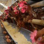 Peternak Sebut Harga Telur Ayam Naik karena Afkir Dini