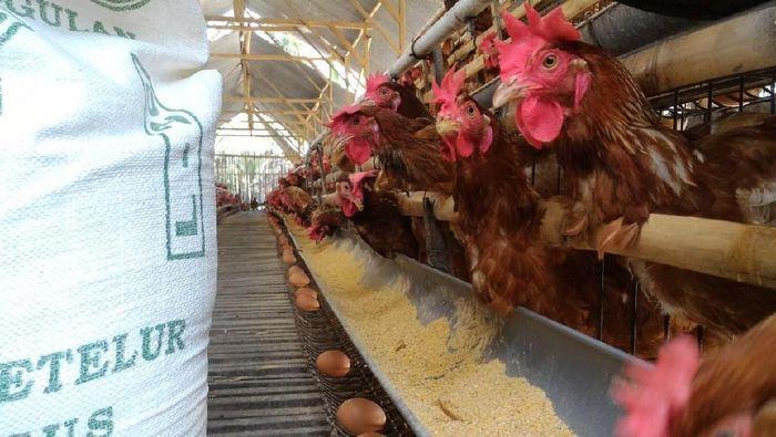 53+ Gambar Ayam Raksasa Lucu Paling Keren