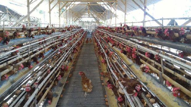 Peternakan ayam petelur di Boyolali