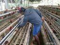 Jumlah Ayam Petelur Turun 20% Karena Sakit dan Afkir