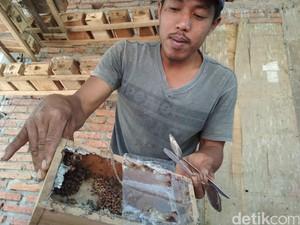 Dari Penasaran, Warga Trenggalek Sukses Budidaya Lebah Madu Klanceng