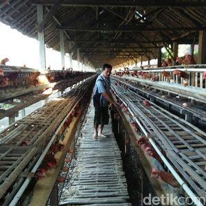 Tutupi Kekurangan Jagung, Peternak Ayam Beli Pakan Buatan Pabrik