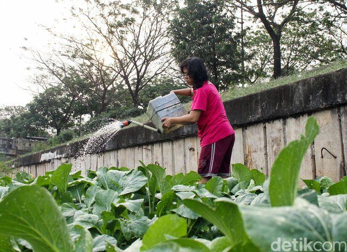Beberapa warga yang tinggal di pinggiran kali Banjir Kanal Timur, Jakarta memanfaatkan lahan hijau di pinggir kali untuk bertani.