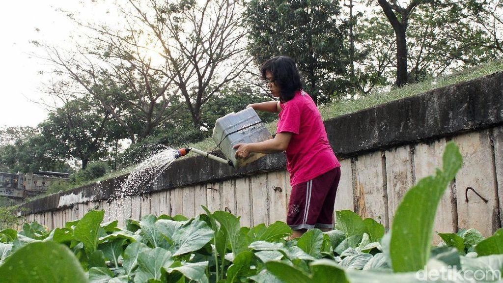 Mengintip Kehidupan Petani Sawi di Pinggir Banjir Kanal Timur