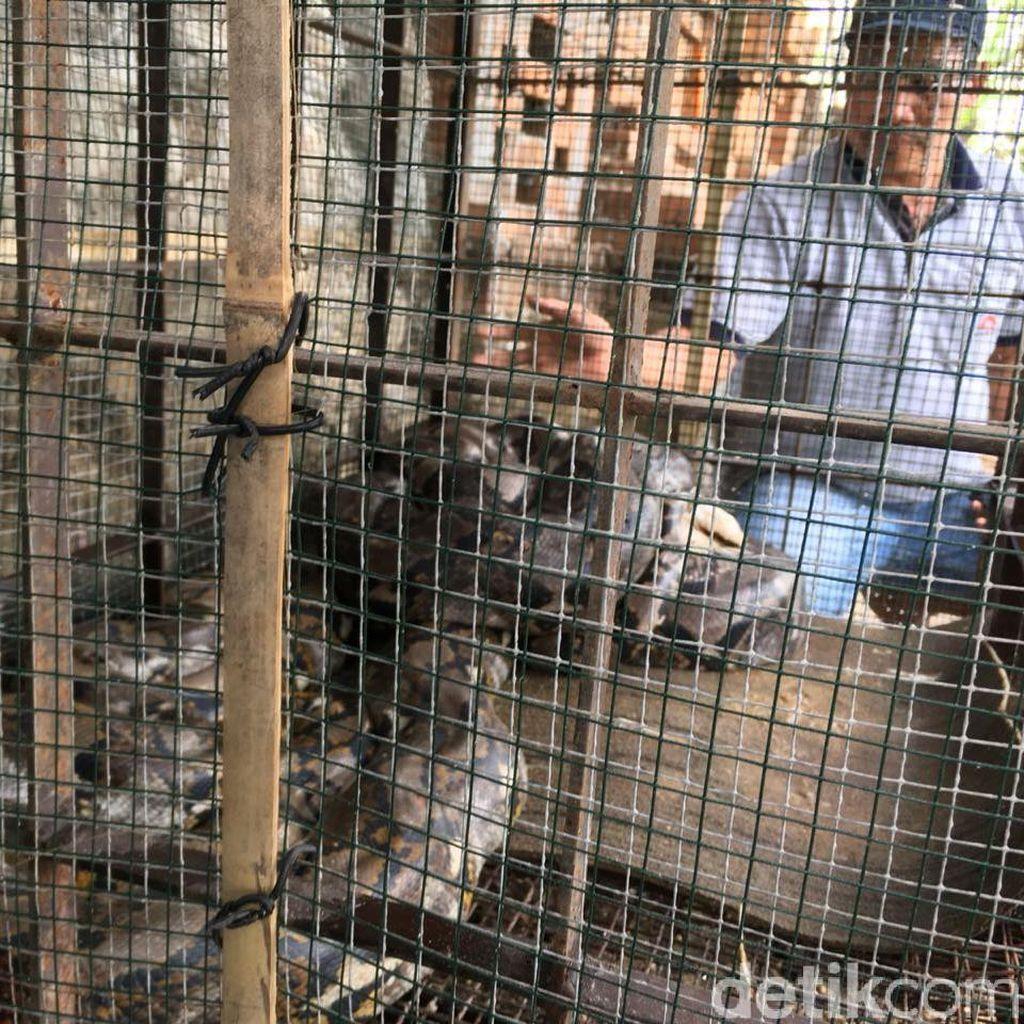 BKSDA Imbau Ular yang Ditangkap Diserahkan ke Kebun Binatang