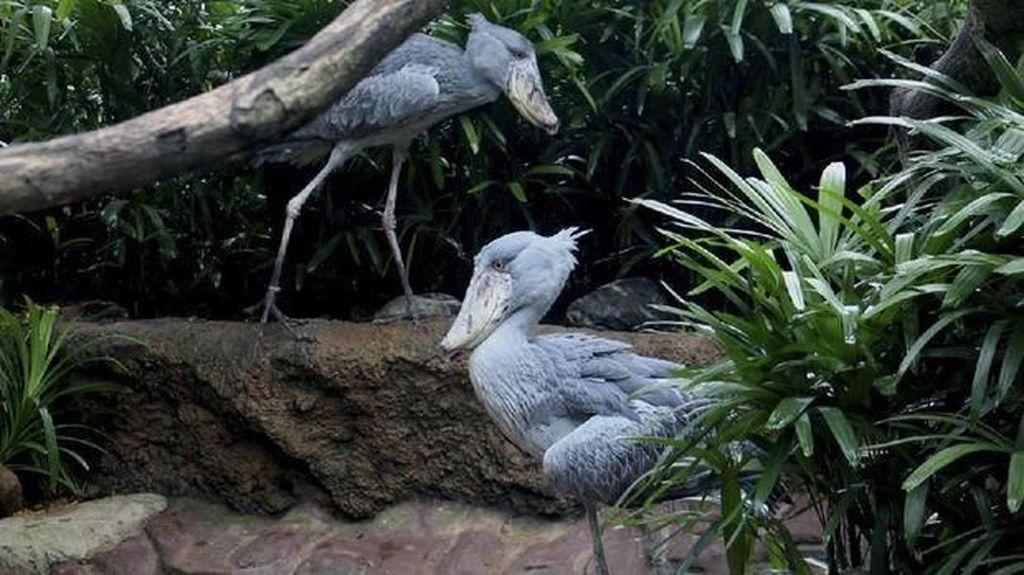 Ada Burung Purba Hidup di Singapura, Ini Wujudnya