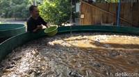 Mau Budidaya Ikan di Tengah Pandemi, ke Mana Cari Modalnya?