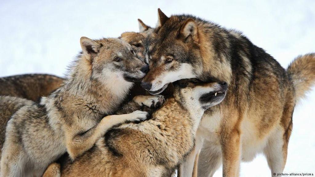 Hadiah Rp 117 Juta Jika Bantu Tangkap Pembunuh Serigala di Jerman