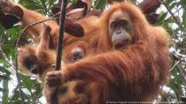 Temuan Bayi Kembar Orangutan Tapanuli Soroti Ancaman Pembangunan PLTA