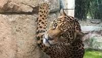 Jangan Ditiru! Pria Lompat Masuk ke Kandang Jaguar, Berujung Ambyar
