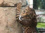Jaguar di AS Lepas dari Kandang, Bantai 7 Hewan Lain