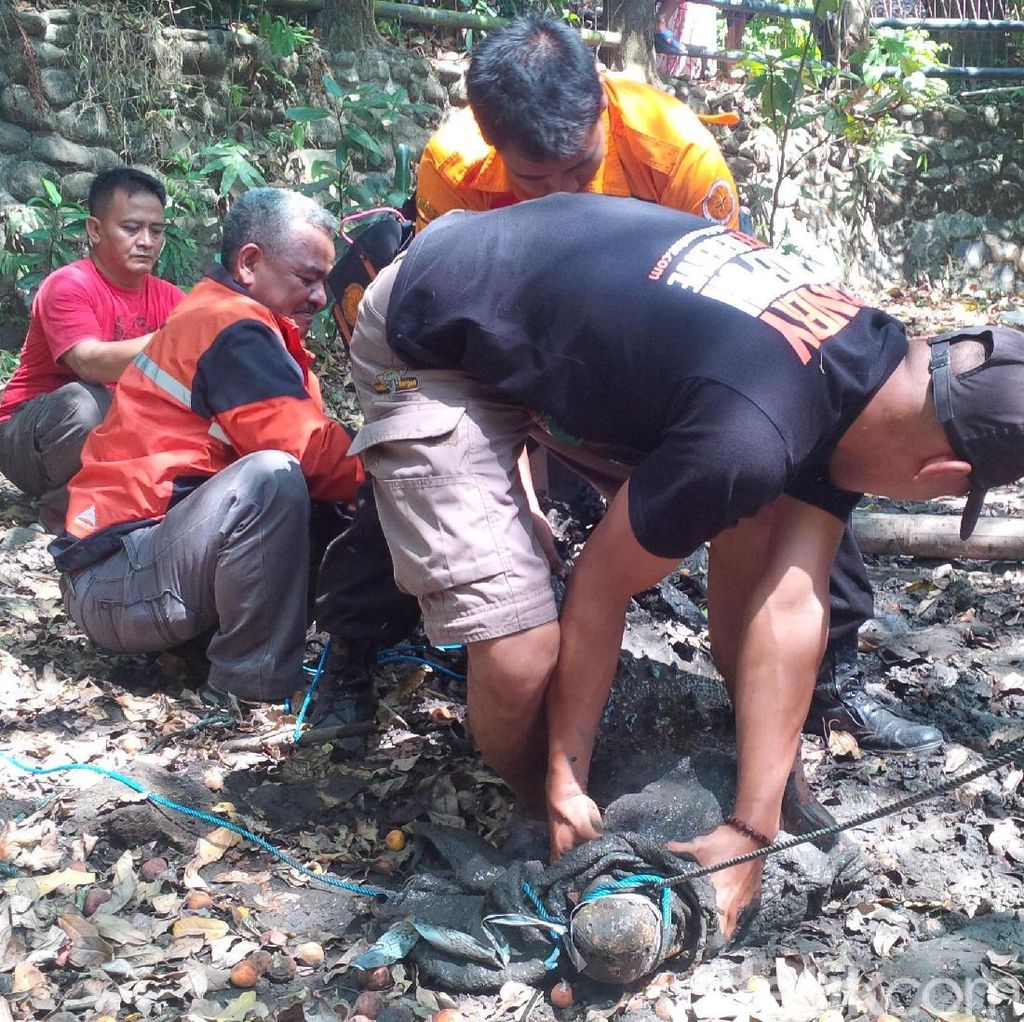 Buaya Sepanjang 3 Meter Dievakuasi Dari Kolam Warga di Sukabumi
