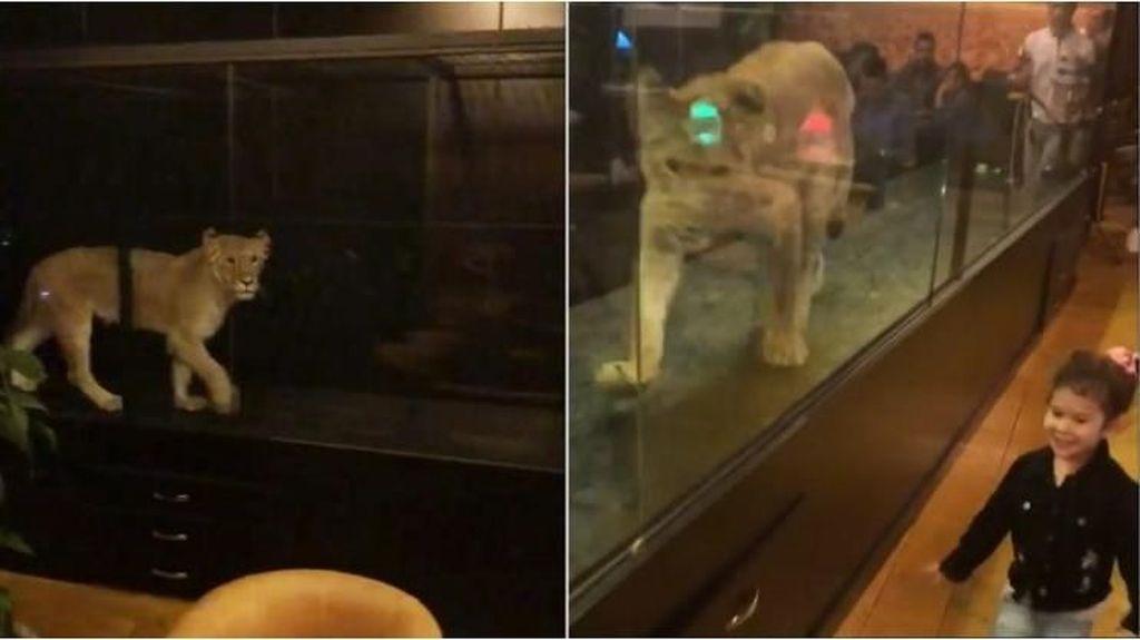 Duh, Kafe Ini Hadirkan Singa di Kotak Kaca Sebagai Hiburan Pengunjung!