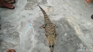 Warga Tangkap Buaya di Sungai Deli Medan
