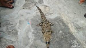 Buaya 1,5 Meter Ditangkap Warga di Aliran Sungai Kecil di Jambi